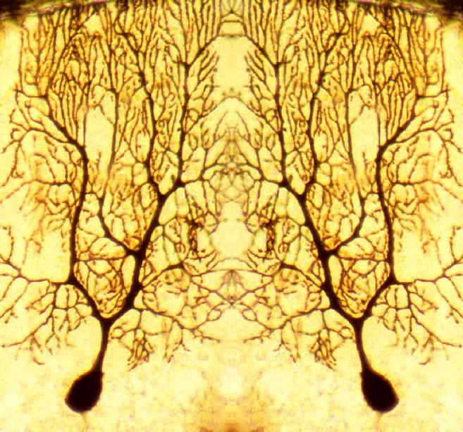 Neurone di Purkinje allo specchio - BM&L collection